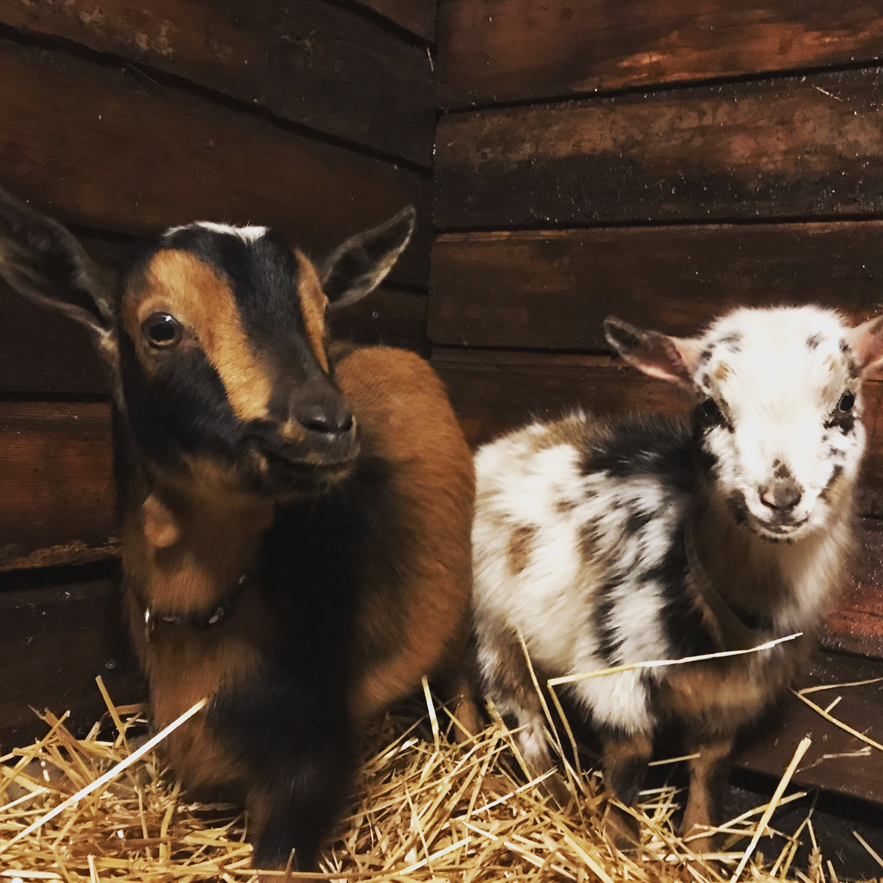 Mini goats inside the barn