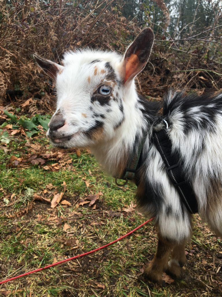 Latte goat is on the mission to clean the hill from blackberries