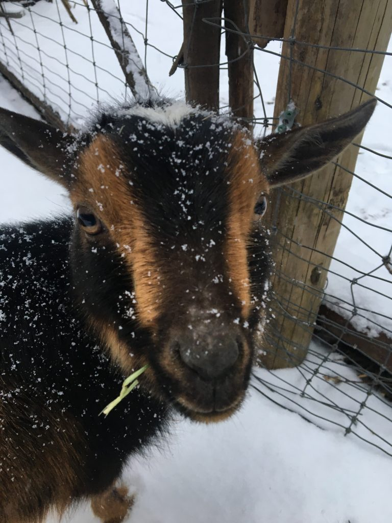 Mini goat Coco on the snow day on the farm